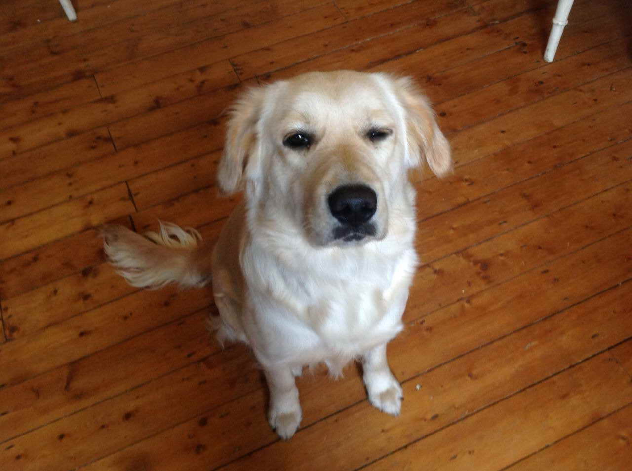 1 Year Old Golden Retriever For Sale