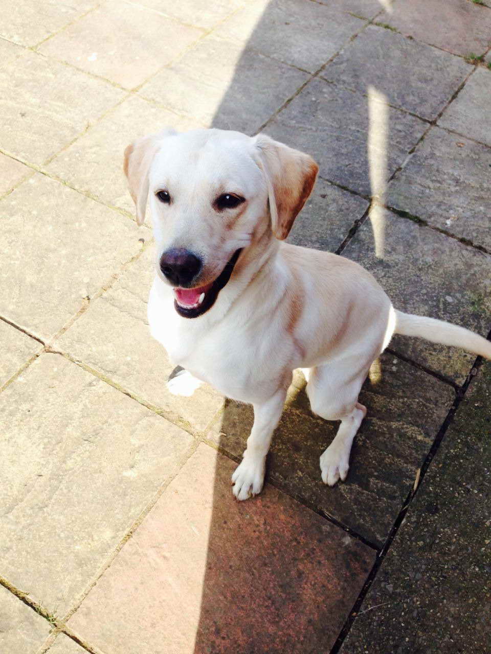 1 Year Old Labrador For Sale