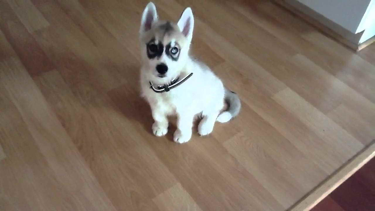 10 Week Old Husky