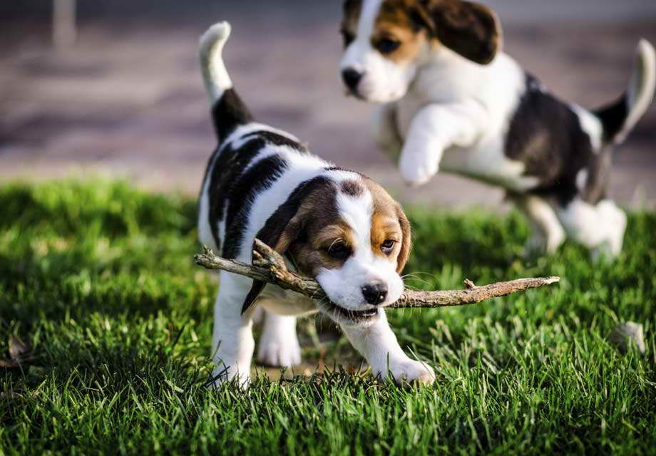 13 Inch Beagle Puppies