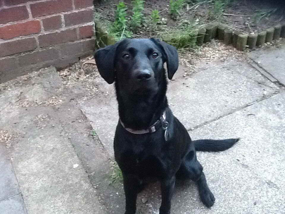 2 Year Old Labrador For Sale