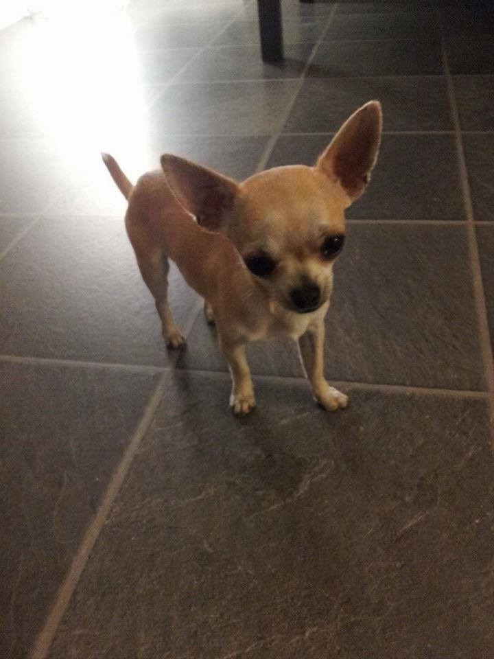 3 Lb Chihuahua