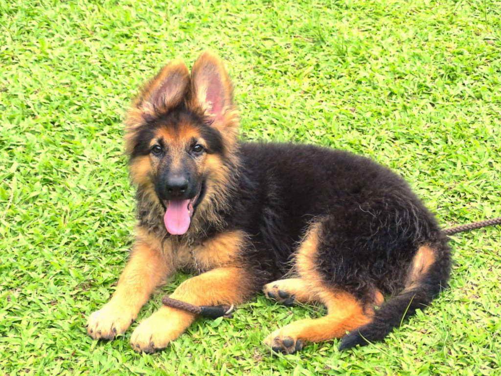 3 Month Old German Shepherd