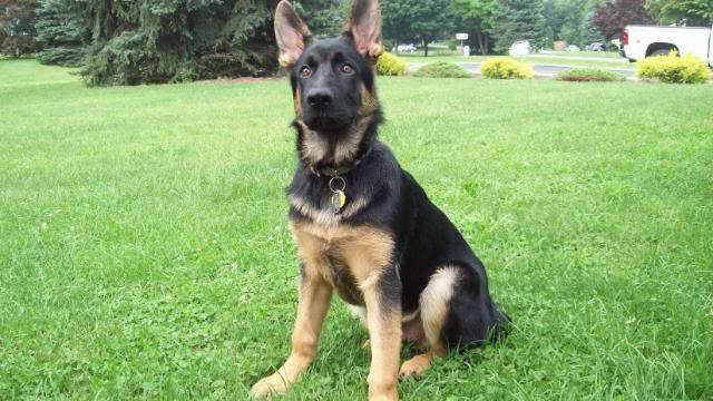 4 Month German Shepherd Puppy