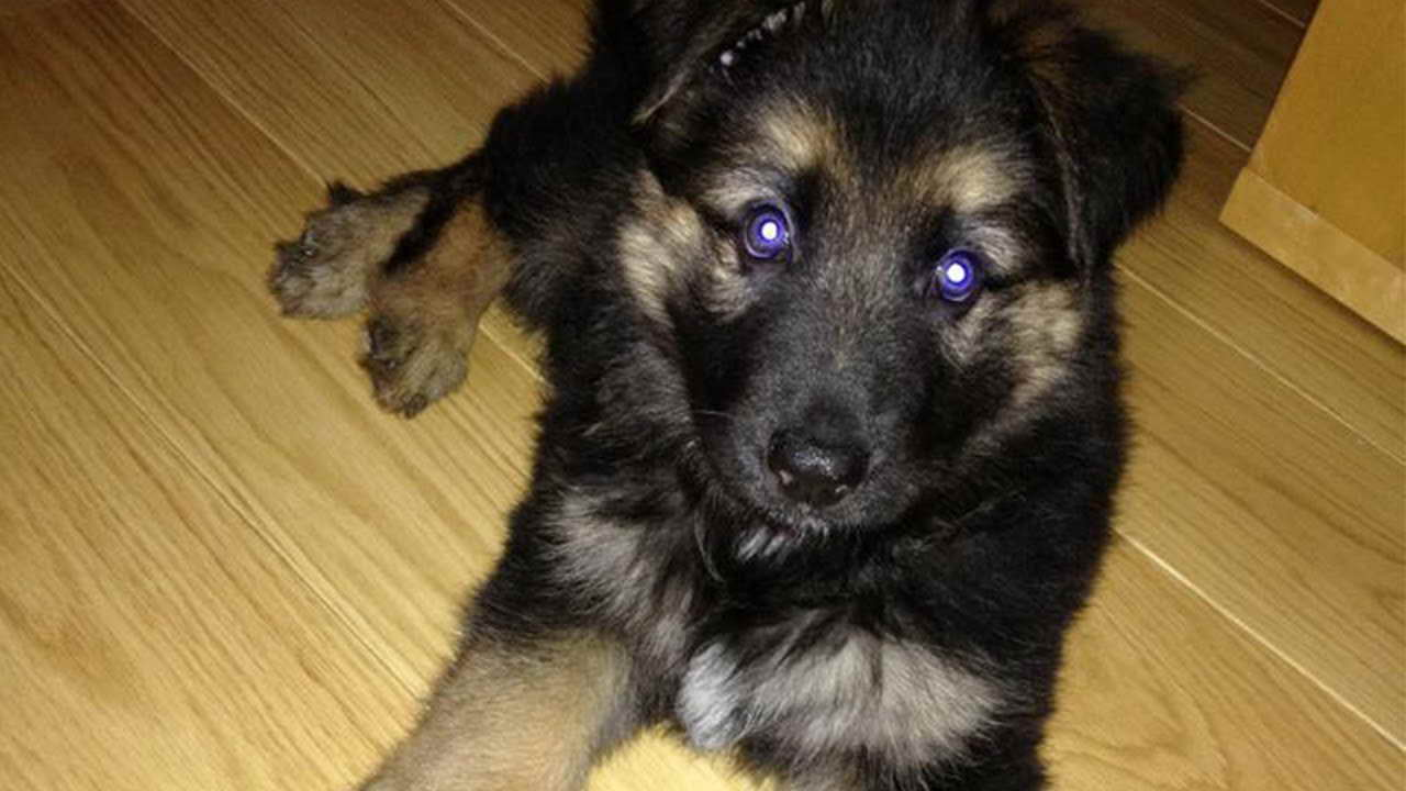 6 Week German Shepherd Puppy