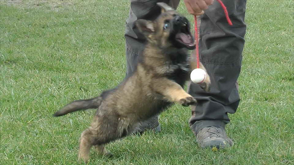 8 Week Old German Shepherd