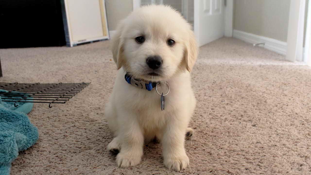 8 Week Old Golden Retriever Puppies For Sale