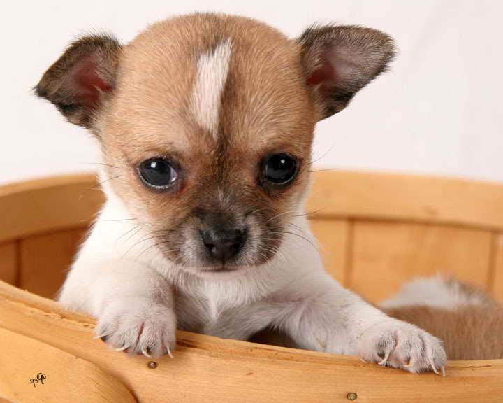 A Chihuahua Puppy