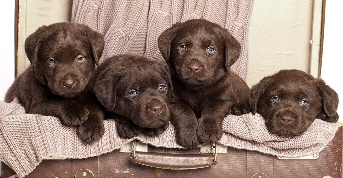 A Chocolate Labrador Puppy
