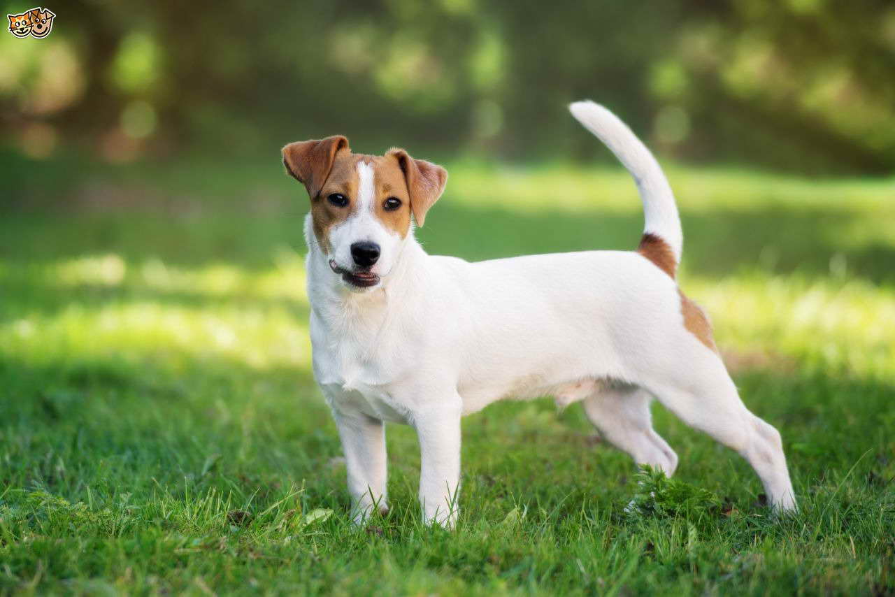 A Jack Russell Dog