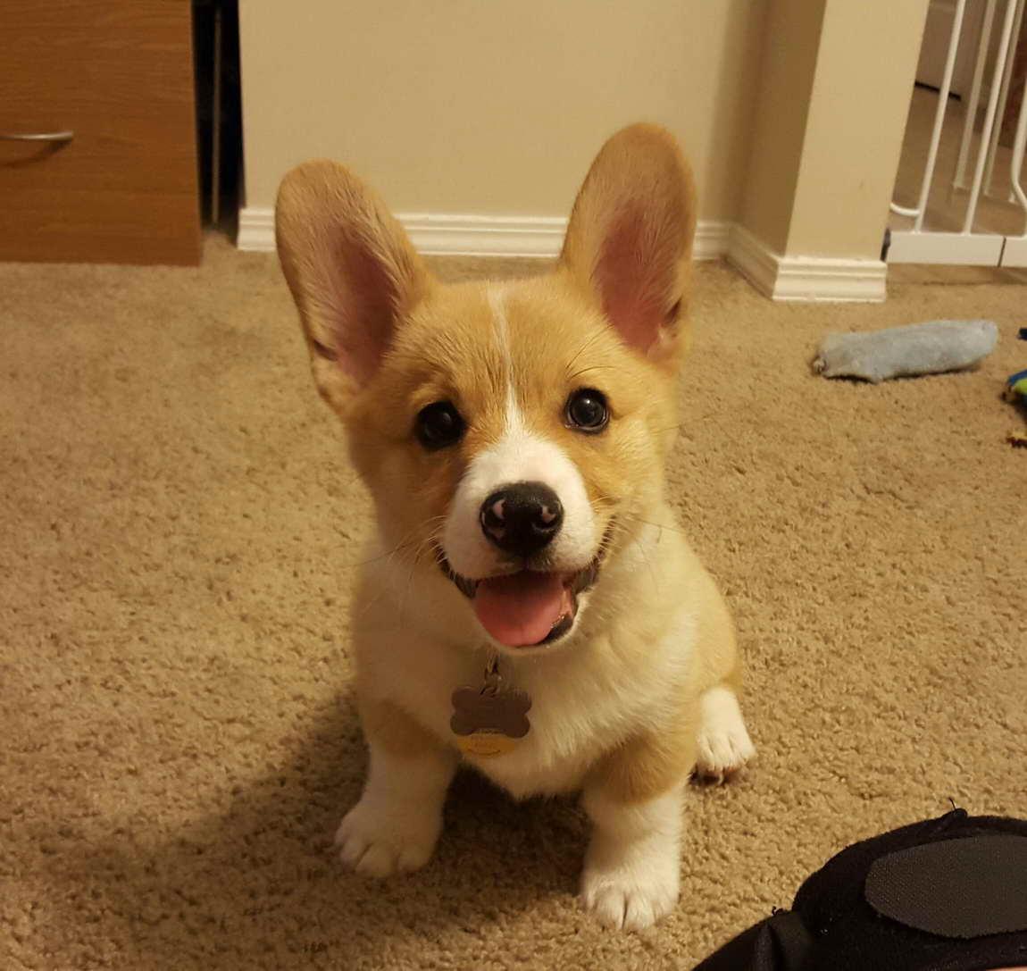 Adopt A Corgi Puppy