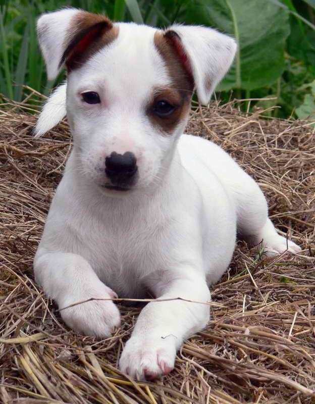 Adopt A Jack Russell Terrier