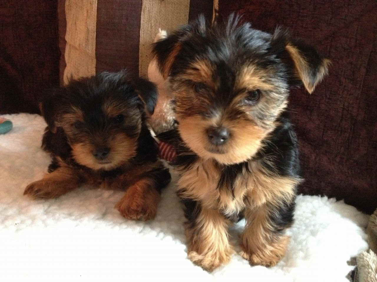 Adopt A Yorkshire Terrier Puppy For Free