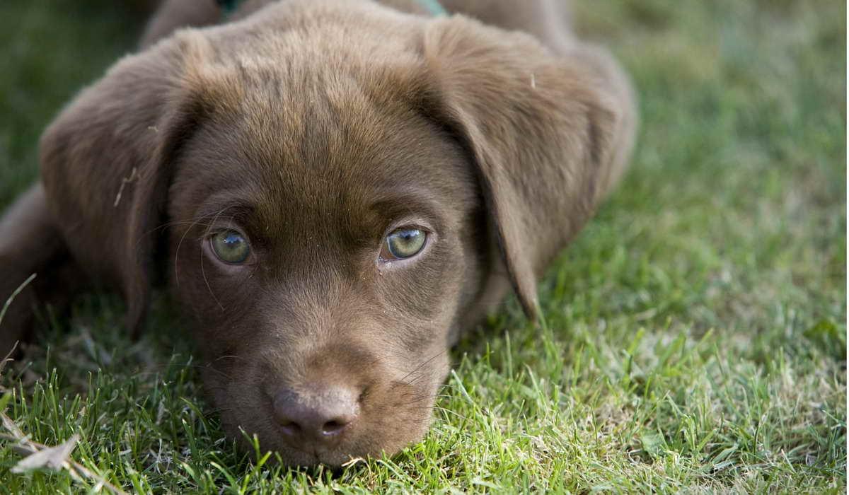 View Ad: Labrador Retriever Puppy for Sale near New Zealand