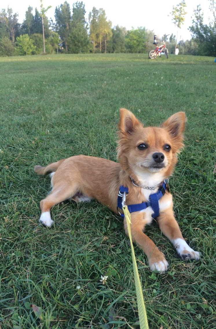 Adopt Long Hair Chihuahua