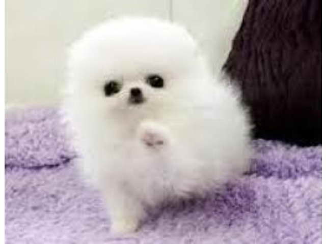 Adopt Pomeranian Puppies