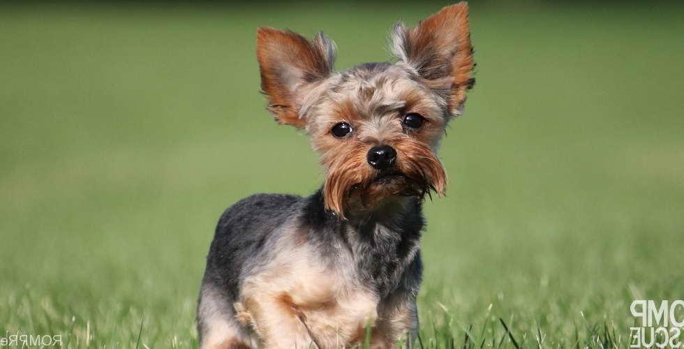 Adopt Yorkie Terrier