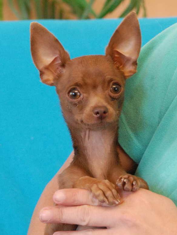 Adoption Chihuahua Puppy
