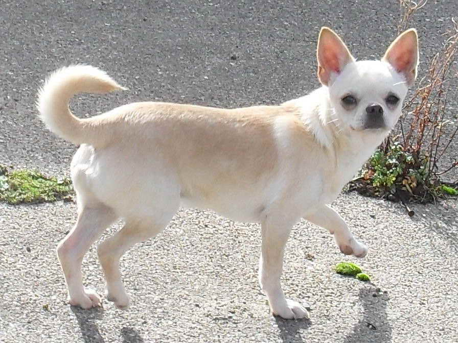 Adult Chihuahua For Sale