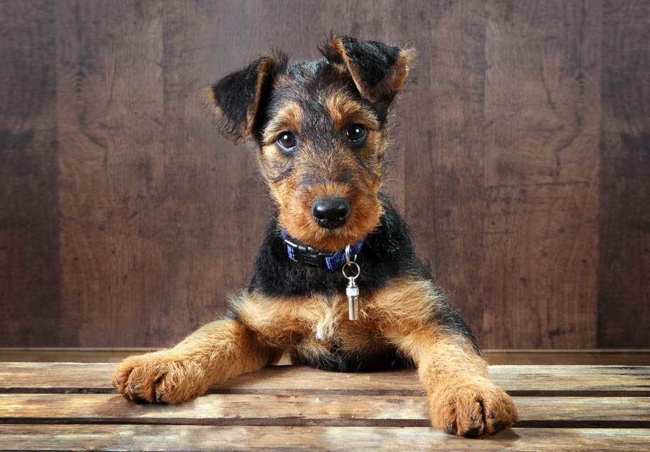 Airedale Terrier Adoption Petsidi