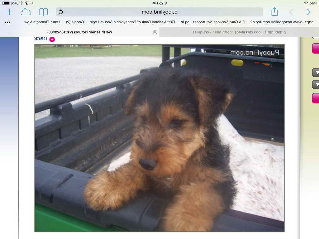 Airedale Terrier For Sale Craigslist Pets And Dogs
