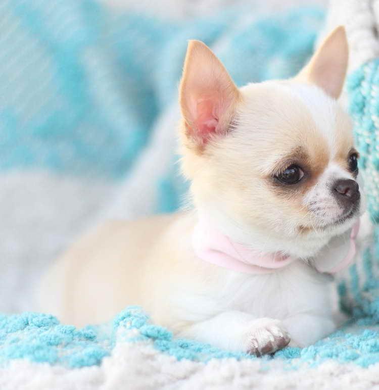 Akc Chihuahua Breeders