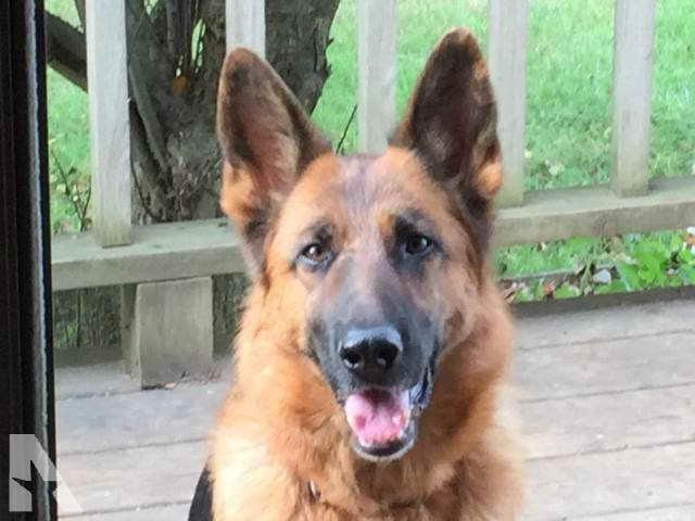 Akc German Shepherd Puppies For Sale In Michigan