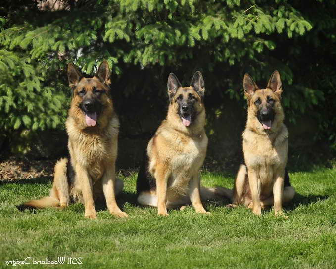Akc German Shepherd Puppies For Sale In Ohio