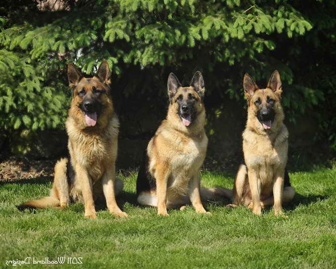 Akc German Shepherd Puppies Price