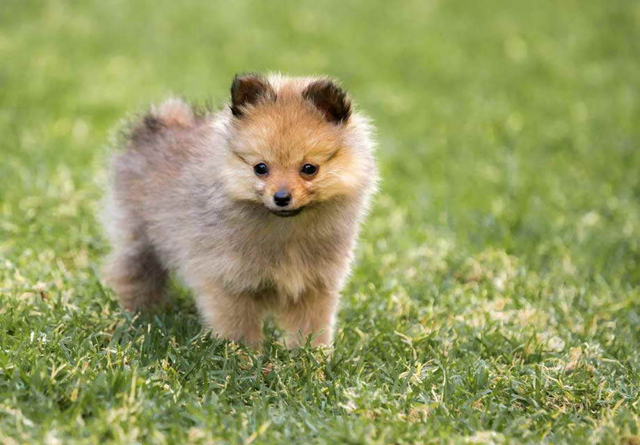 Akc Pomeranian Breeders – Pets and Dogs