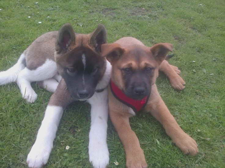 Akita Rottweiler Mix Puppies For Sale Pets And Dogs