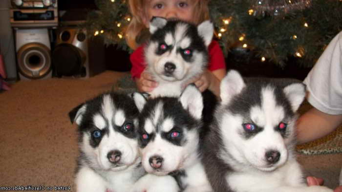 Alaskan Husky Puppies For Sale In Illinois Pets And Dogs