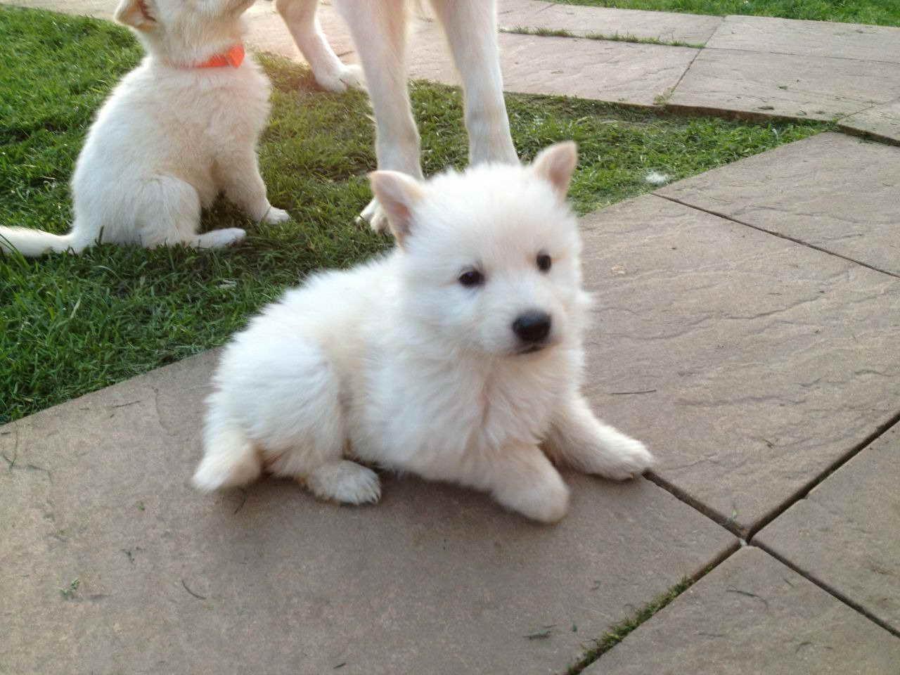 Albino German Shepherd Puppies For Sale