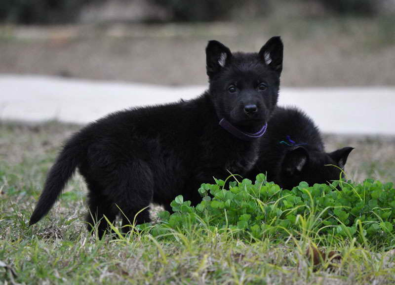 All Black German Shepherd Puppies Goldenacresdogs Com