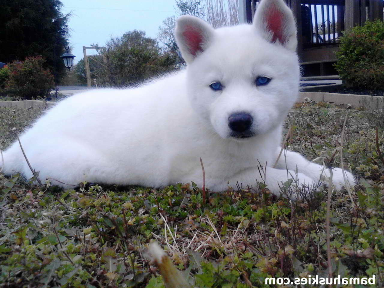 All White Husky Puppies For Sale – Pets and Dogs