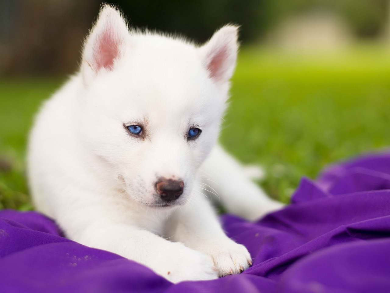 all white husky puppy with blue eyes � pets and dogs