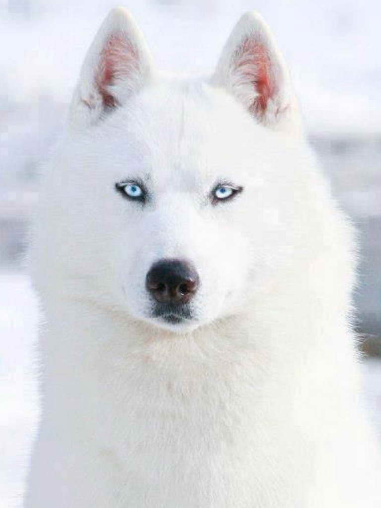 all white siberian husky with blue eyes pets and dogs