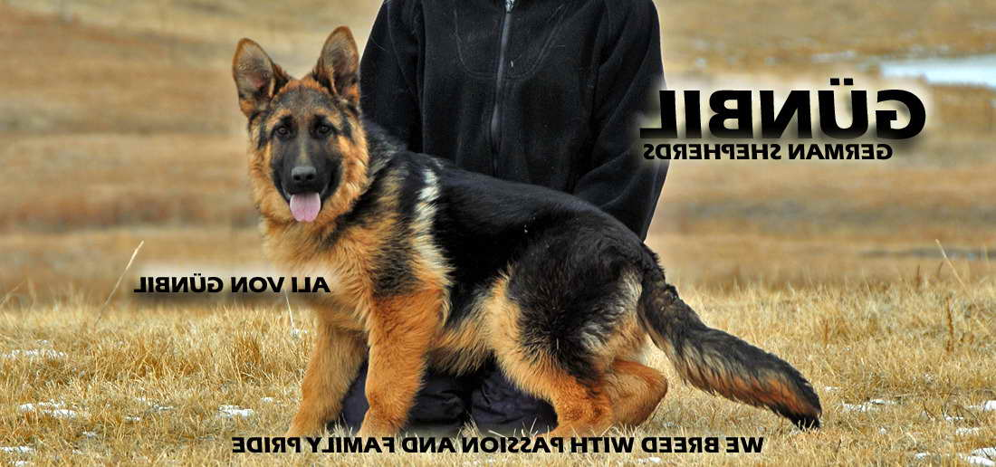 Alpha German Shepherd