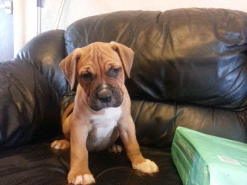 American Bulldog Mastiff Puppies For Sale Petsidi