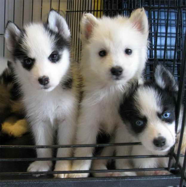 American Eskimo Husky Mix Puppies For