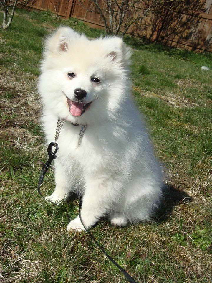American Eskimo Pomeranian Mix For