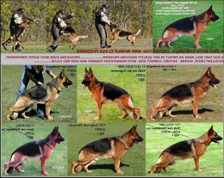 American German Shepherd Breeders