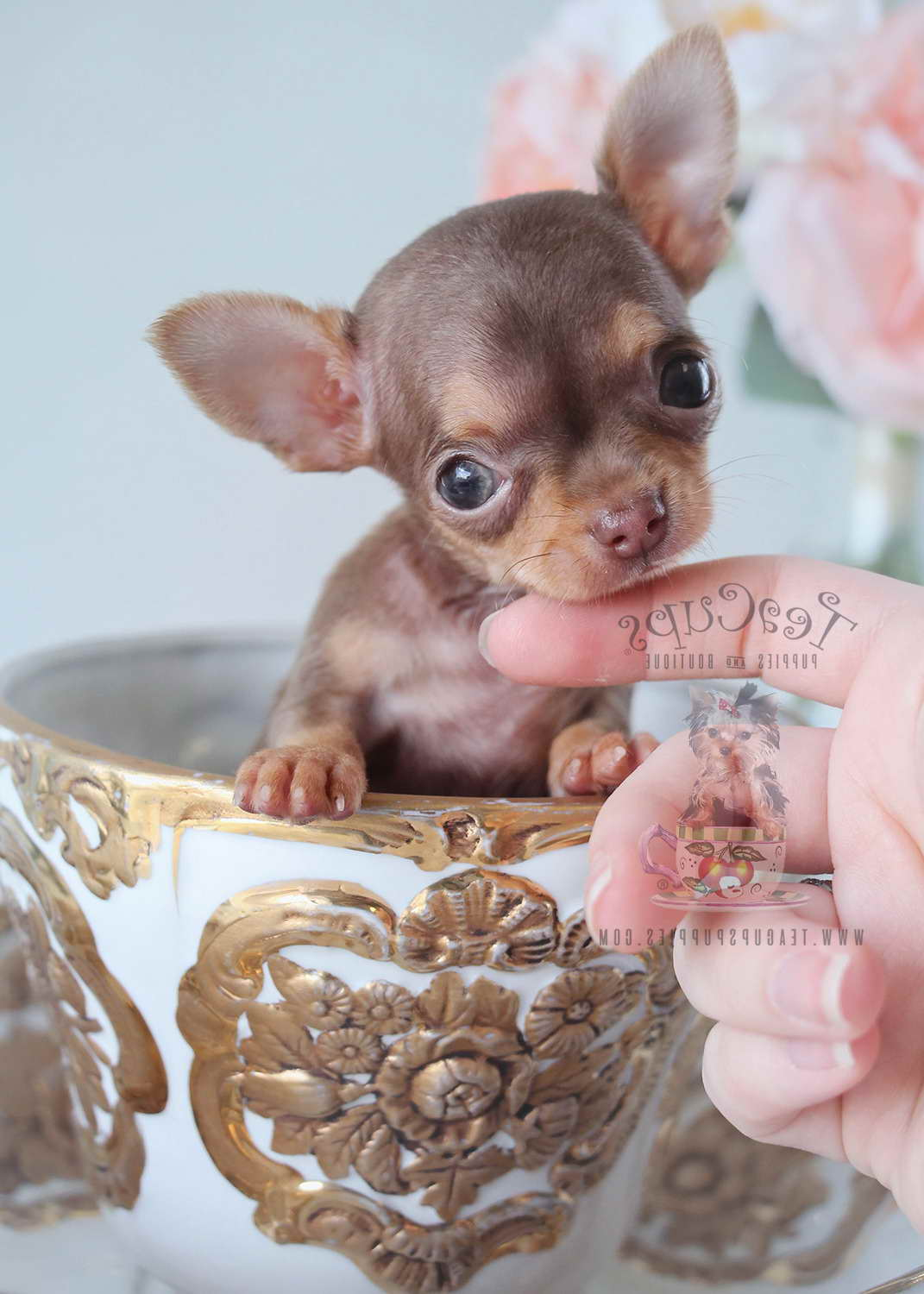 chihuahua for sale in florida applehead chihuahua for sale in florida pets and dogs 4257
