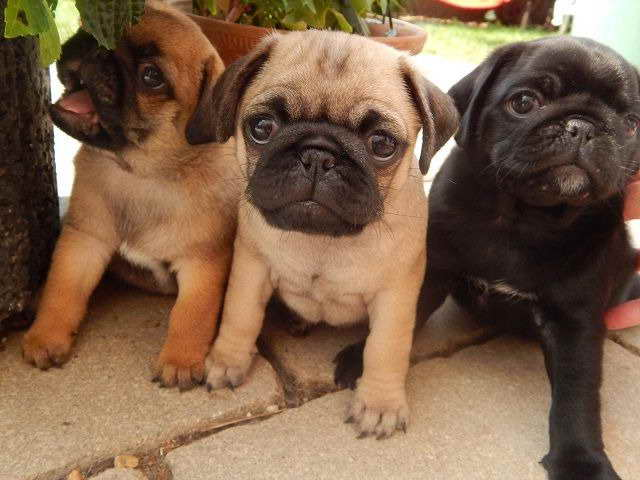 Apricot Pug Puppies For Sale Pets And Dogs