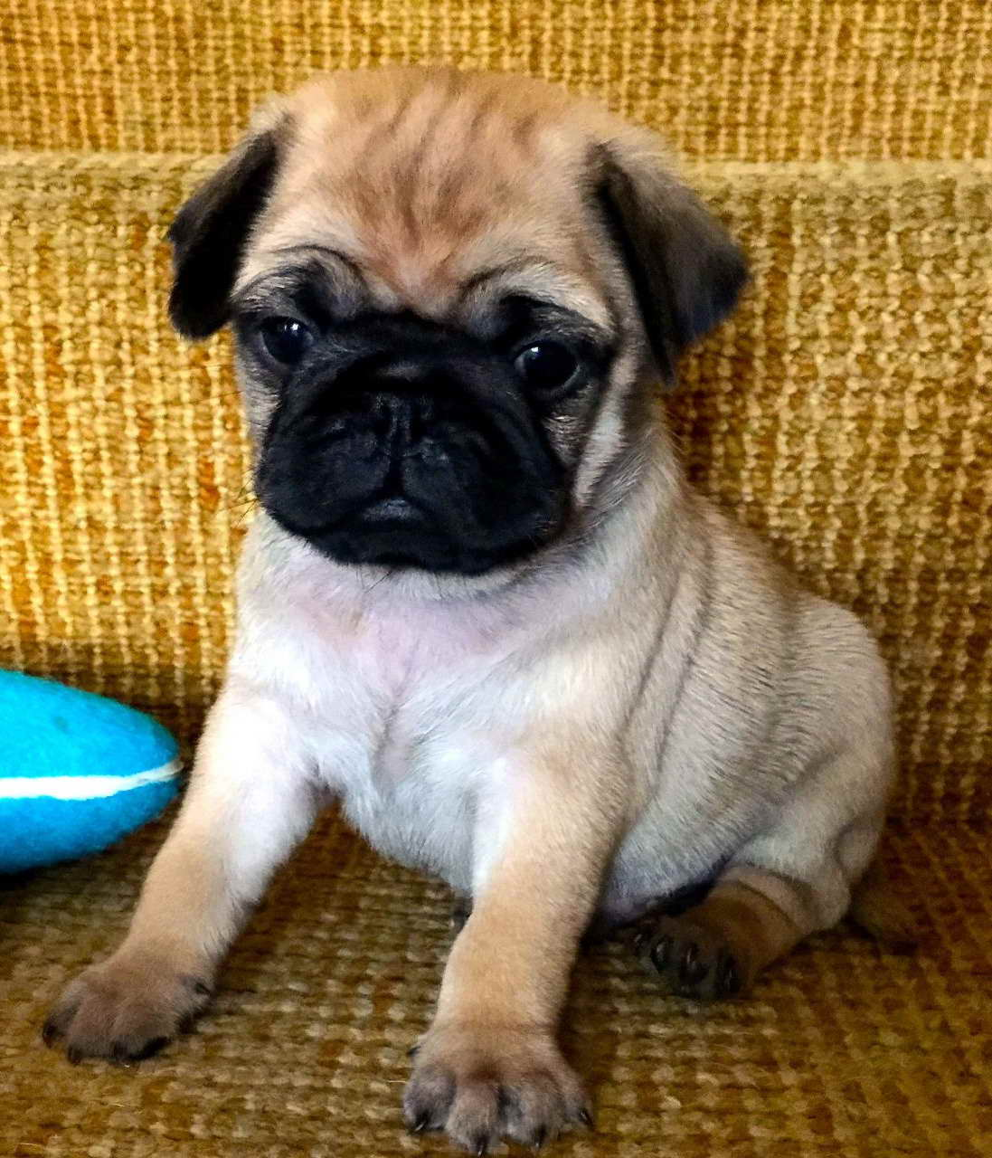 Apricot Pug Puppies Pets And Dogs