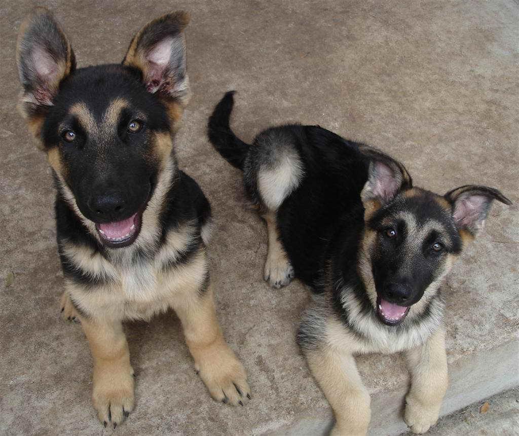 Austin German Shepherd Rescue