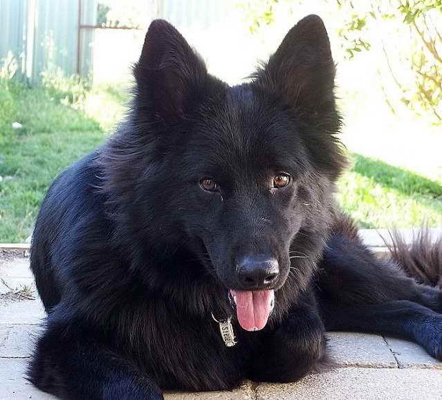 Australian German Shepherd For Sale
