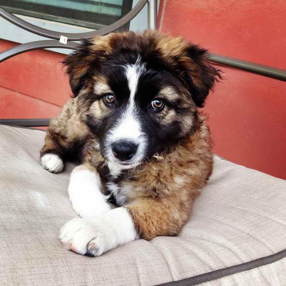 Australian German Shepherd Mix Puppies For Sale