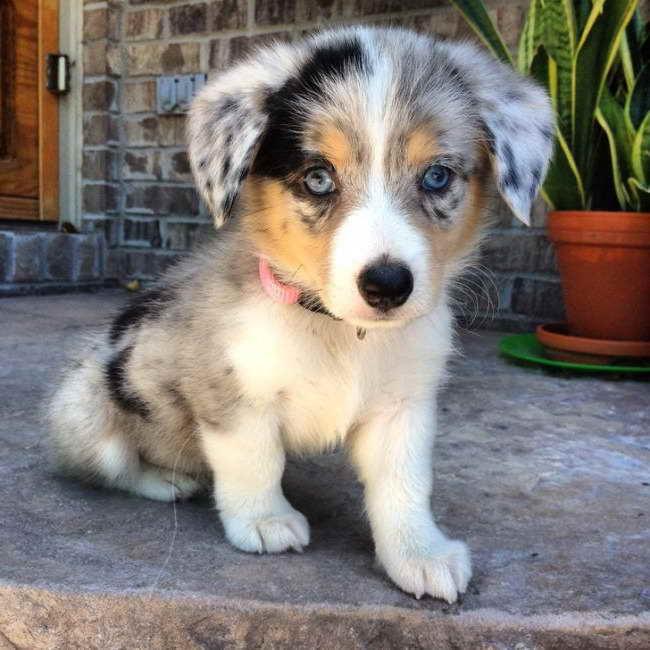 Australian Shepherd Corgi Mix Puppies For Sale | PETSIDI