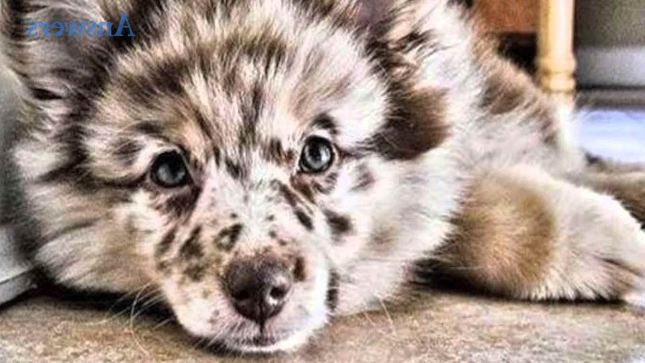 Australian Shepherd Pomeranian Mix For Sale